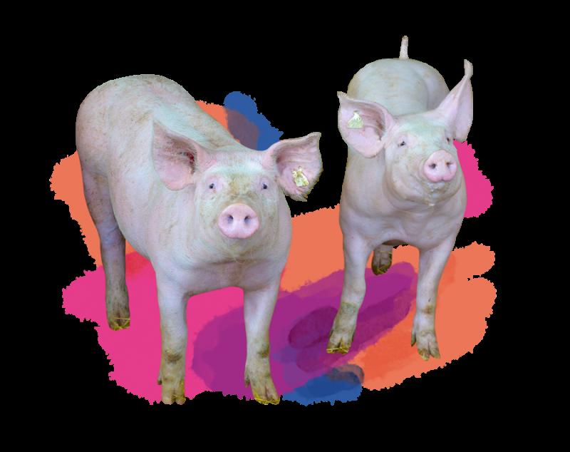 franke-kontent-schweine-900x900